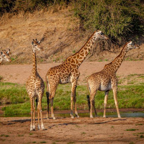 Giraffes-8255