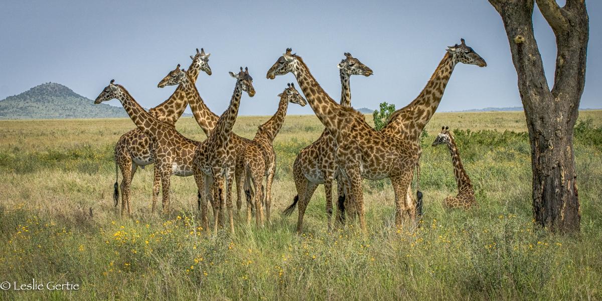 Giraffes-Serengeti-4529