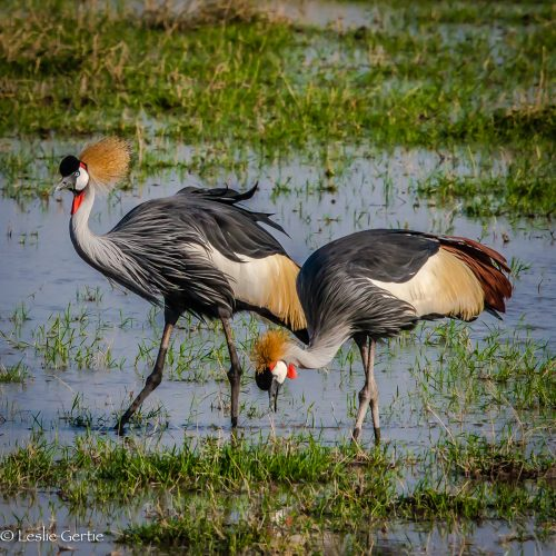 Glorious Crowned Cranes-6532