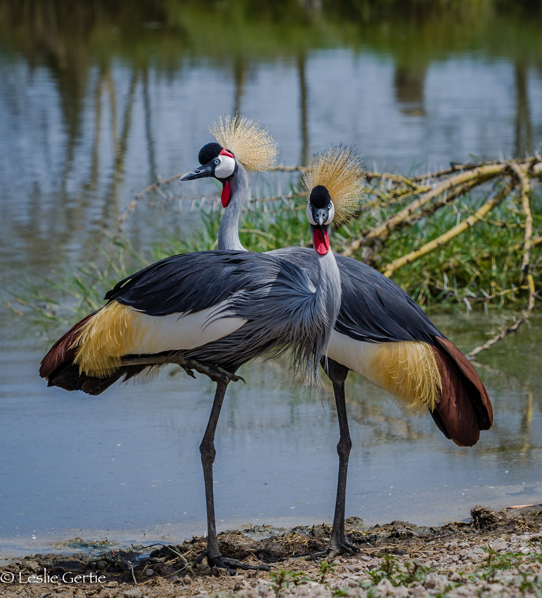 Glorious Crane Pair-Serengeti-4637