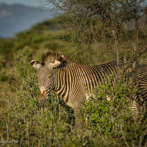 Grevy's Zebra-Samburu-856