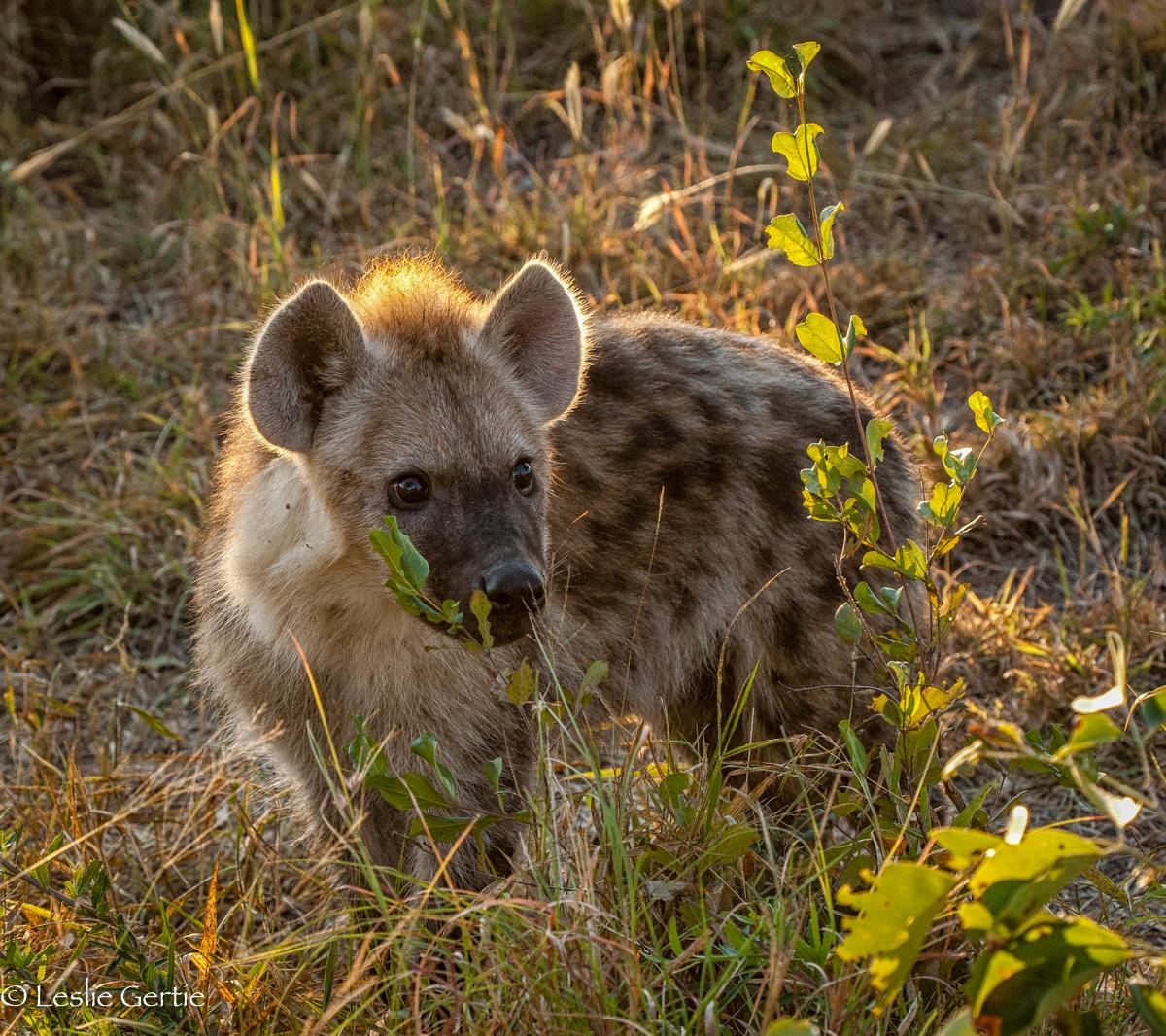 Hyena Pup-9001