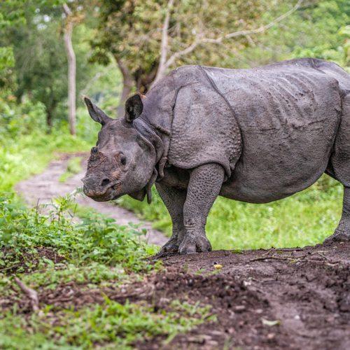 Indian Rhino-3111