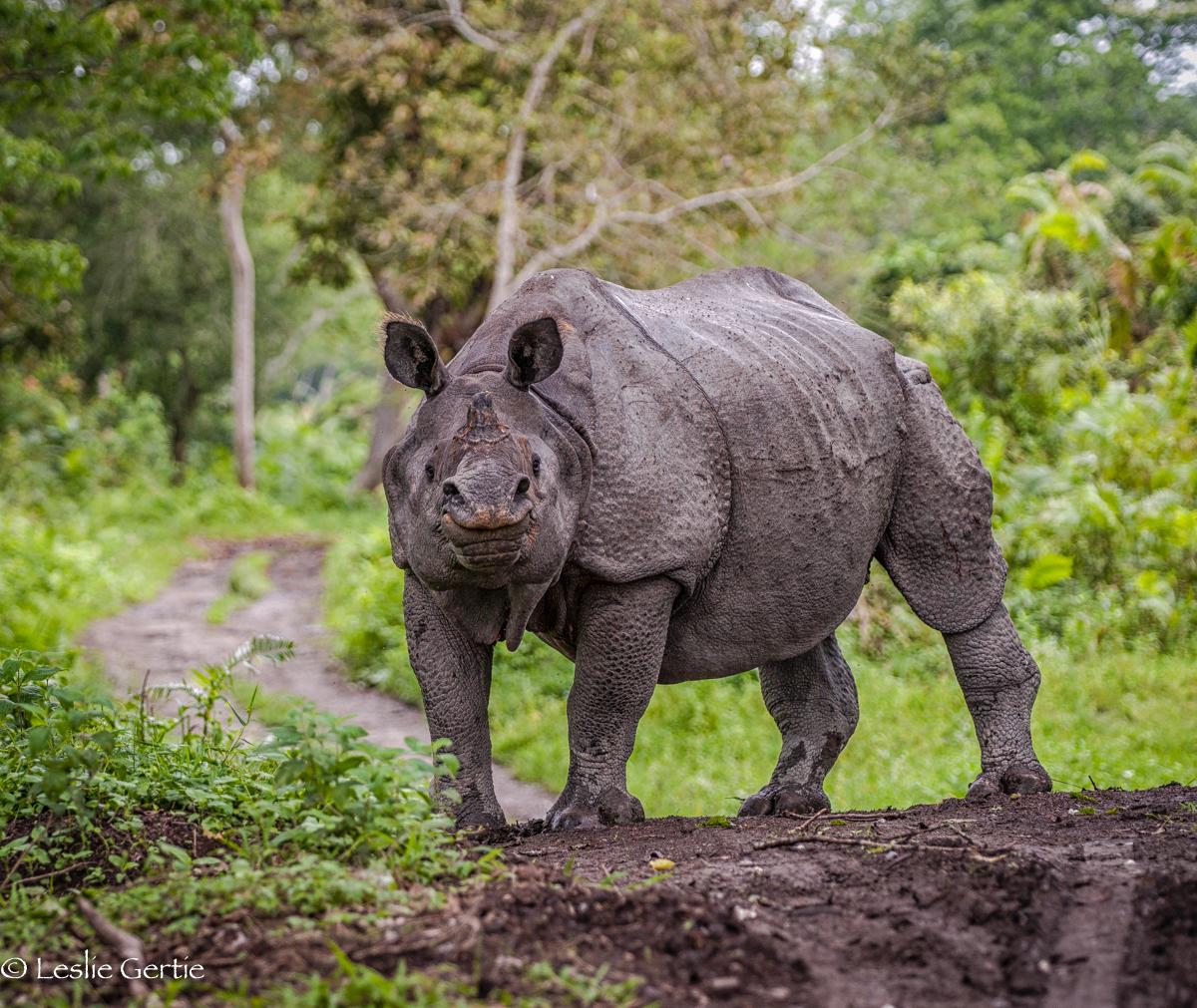 Indian Rhino-3112
