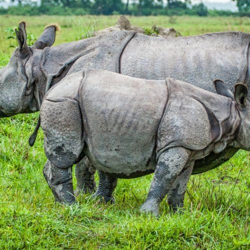 Rhinos in Kaziranga-2928