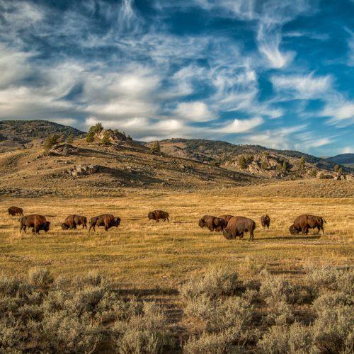 Lamar Valley Buffalo-4974