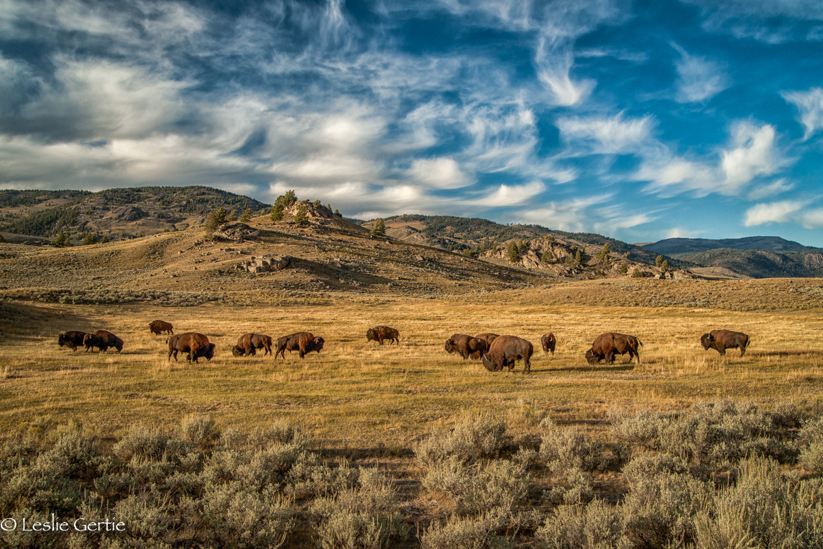 Lamar Valley Buffalo-4974
