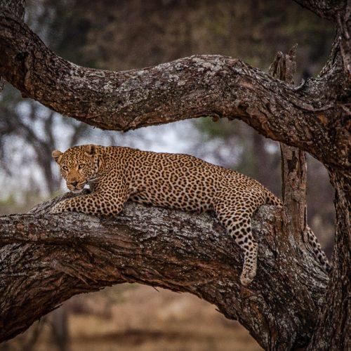 Leopard @ Dawn-7423