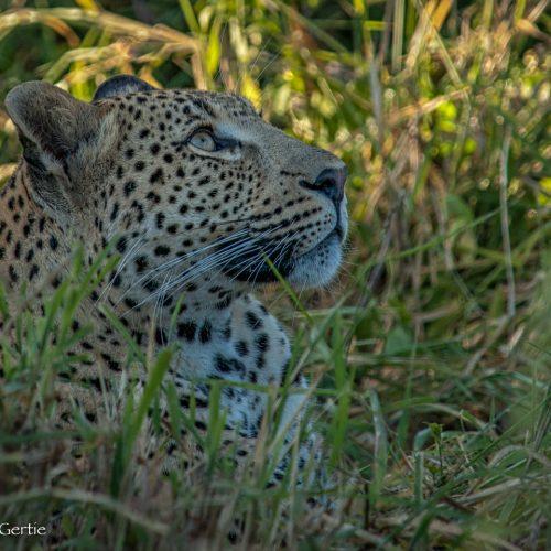 Londolozi Leopard-9021