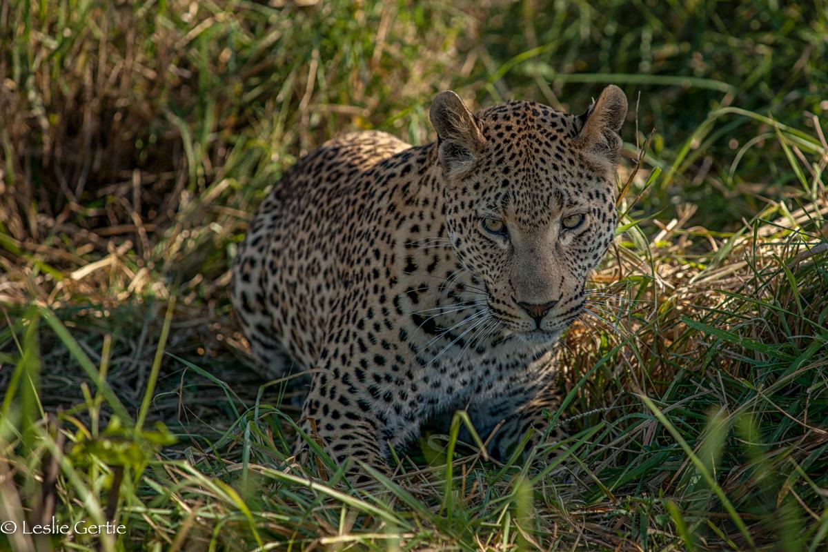 Londolozi Leopard-9046