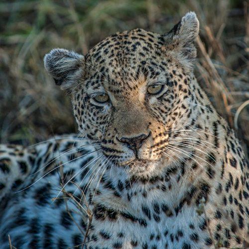 Londolozi Leopard-9697