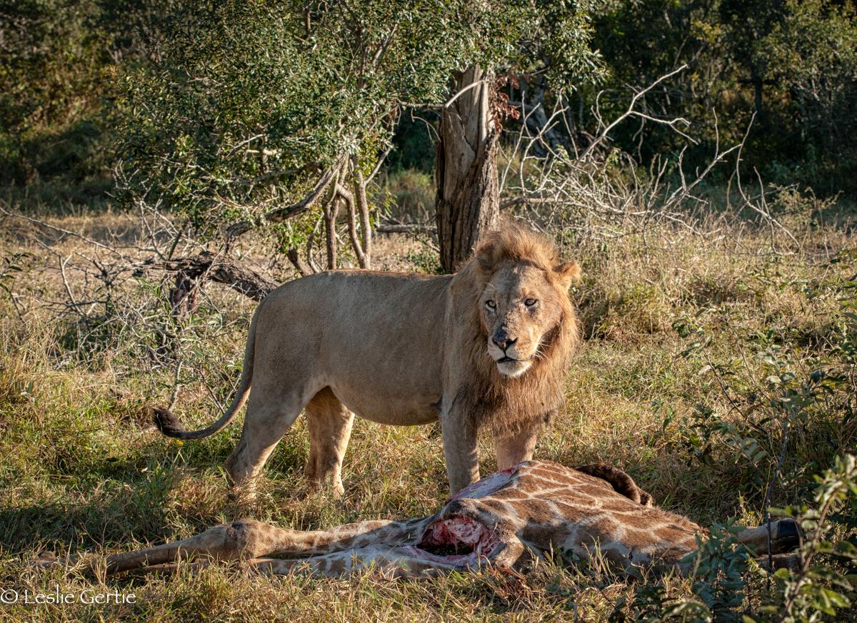 Londolozi Lion-9422