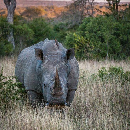 Londolozi Wide Rhino-9531