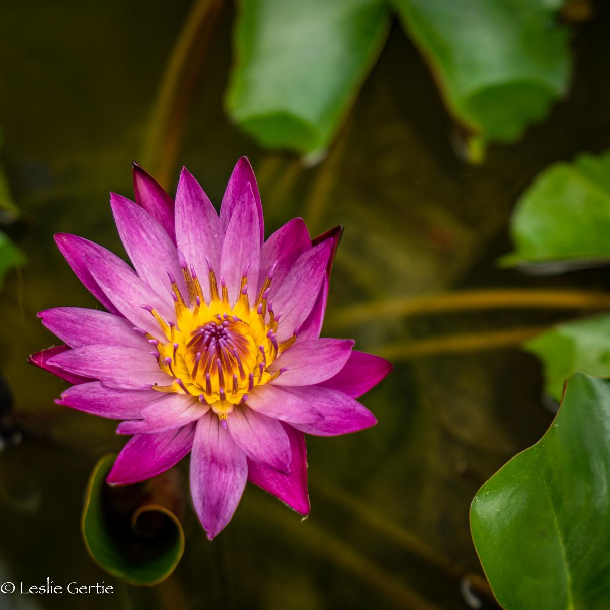 Lotus-1516
