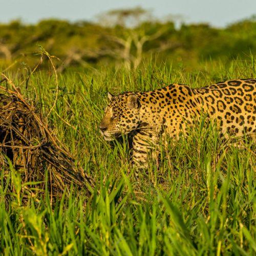 'Mick Jaguar'-2325