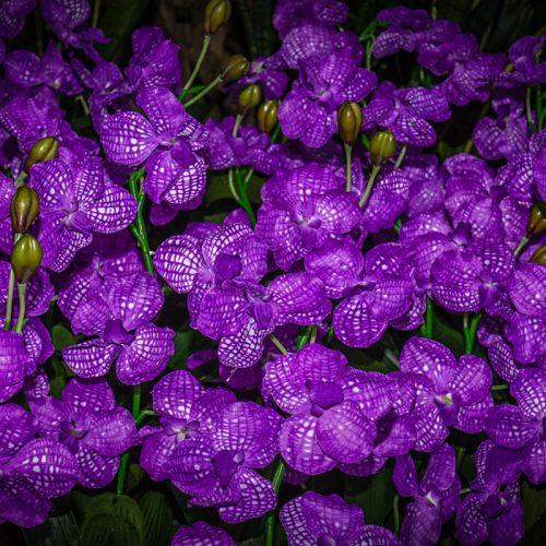 Orchids-1386
