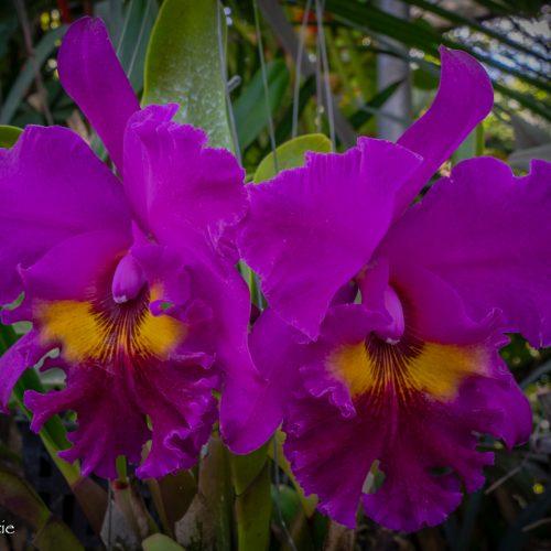 Orchids-1651