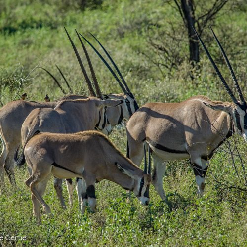 Oryx Herd-Samburu-1561