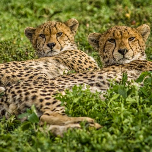 Cheetah Siblings-Ndutu-3898