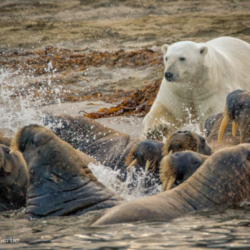 Phippsoya BBC Bear-2353