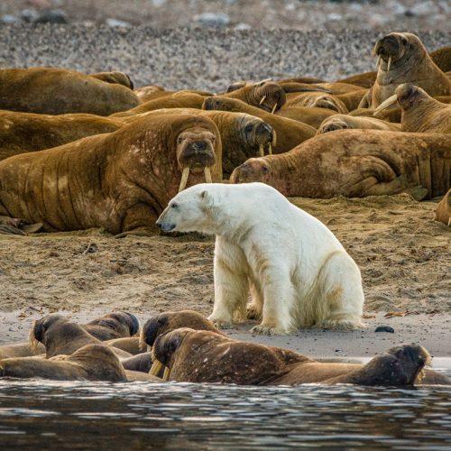 Phippsoya BBC Bear-2456