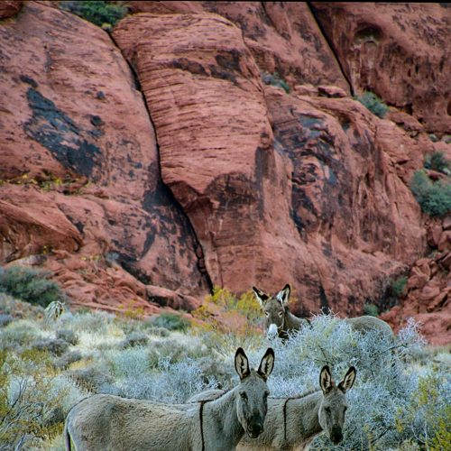 Red Rock Burros-185-50