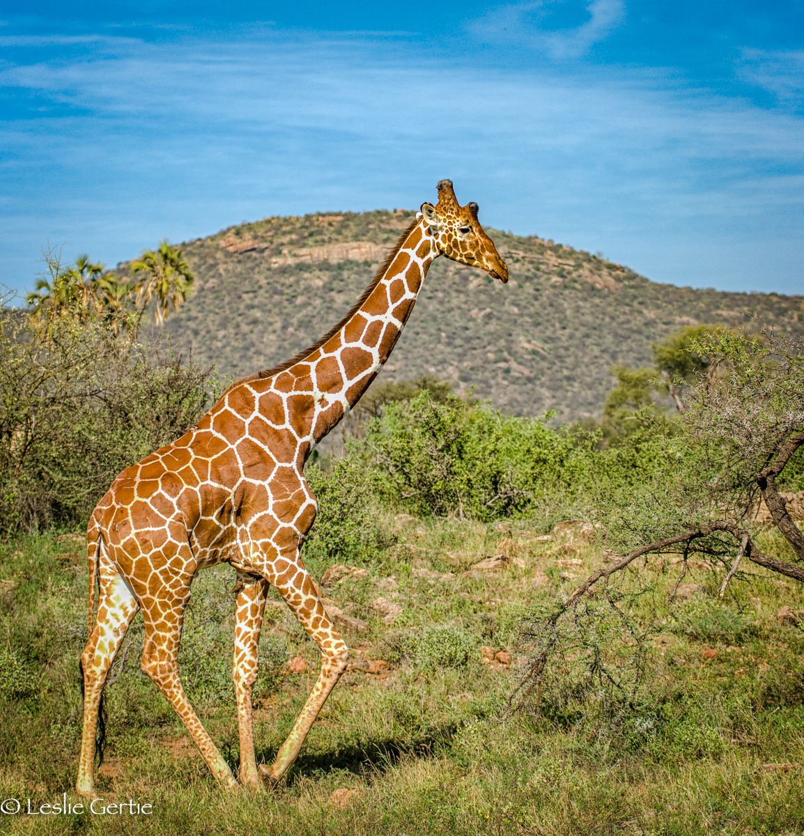 Reticulated Giraffe-Samburu-528