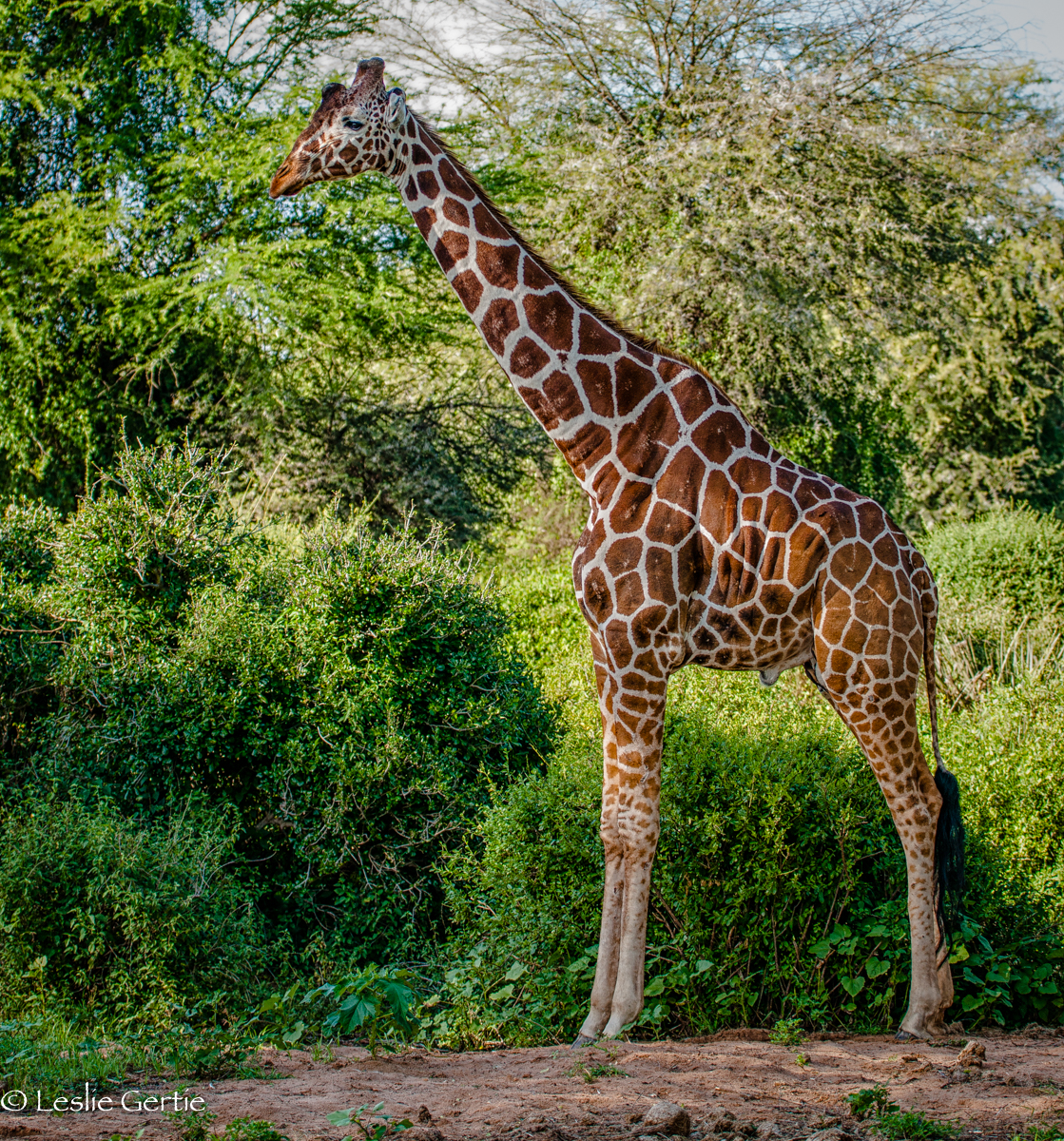 Reticulated Giraffe-Samburu-184