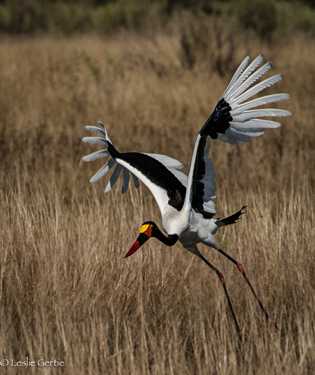 Saddlebilled Stork-8450