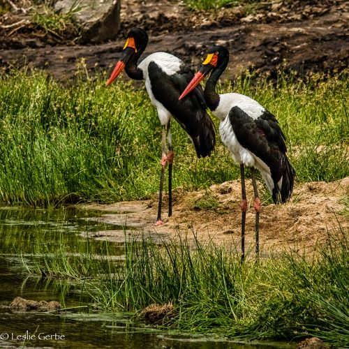 Saddlebilled Storks-Tarangire-3436