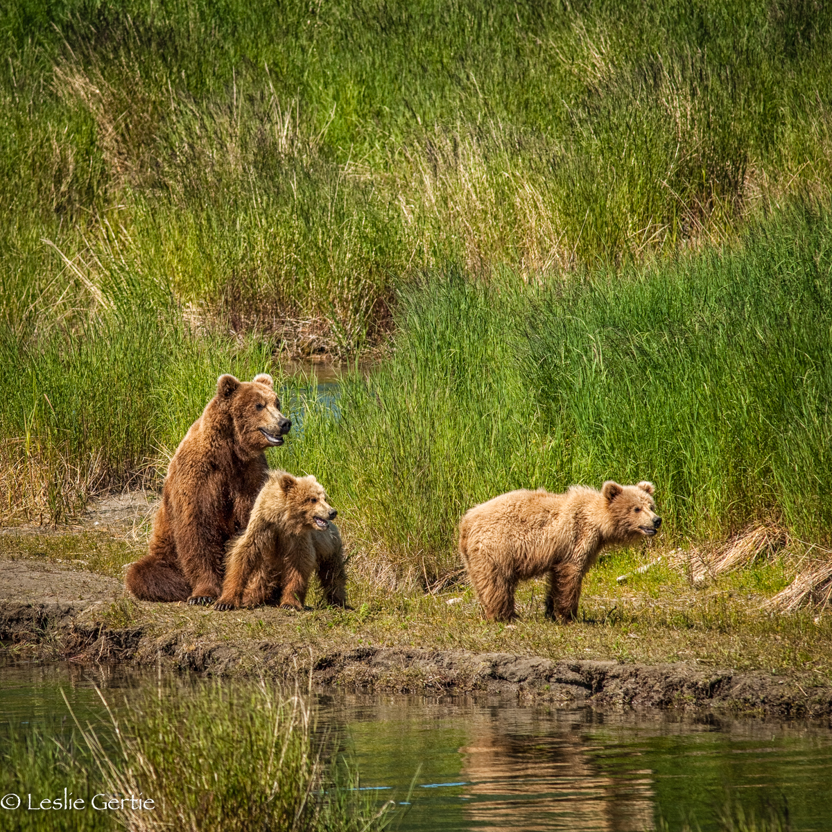Sow & 2 Cubs-192