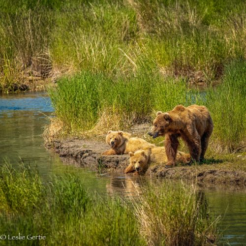 Sow & 2 Cubs-314
