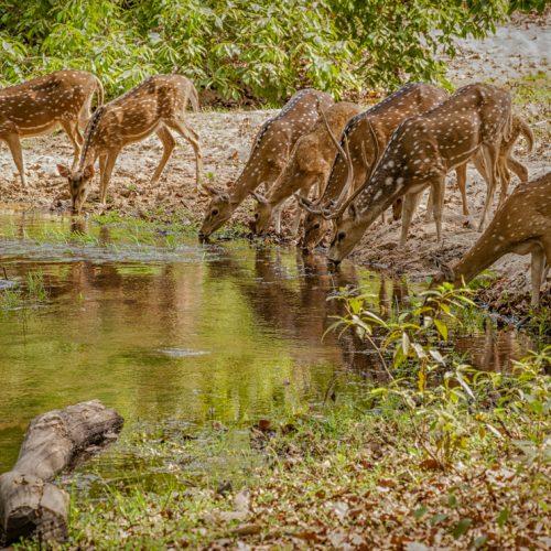 Spotted Deer-5154