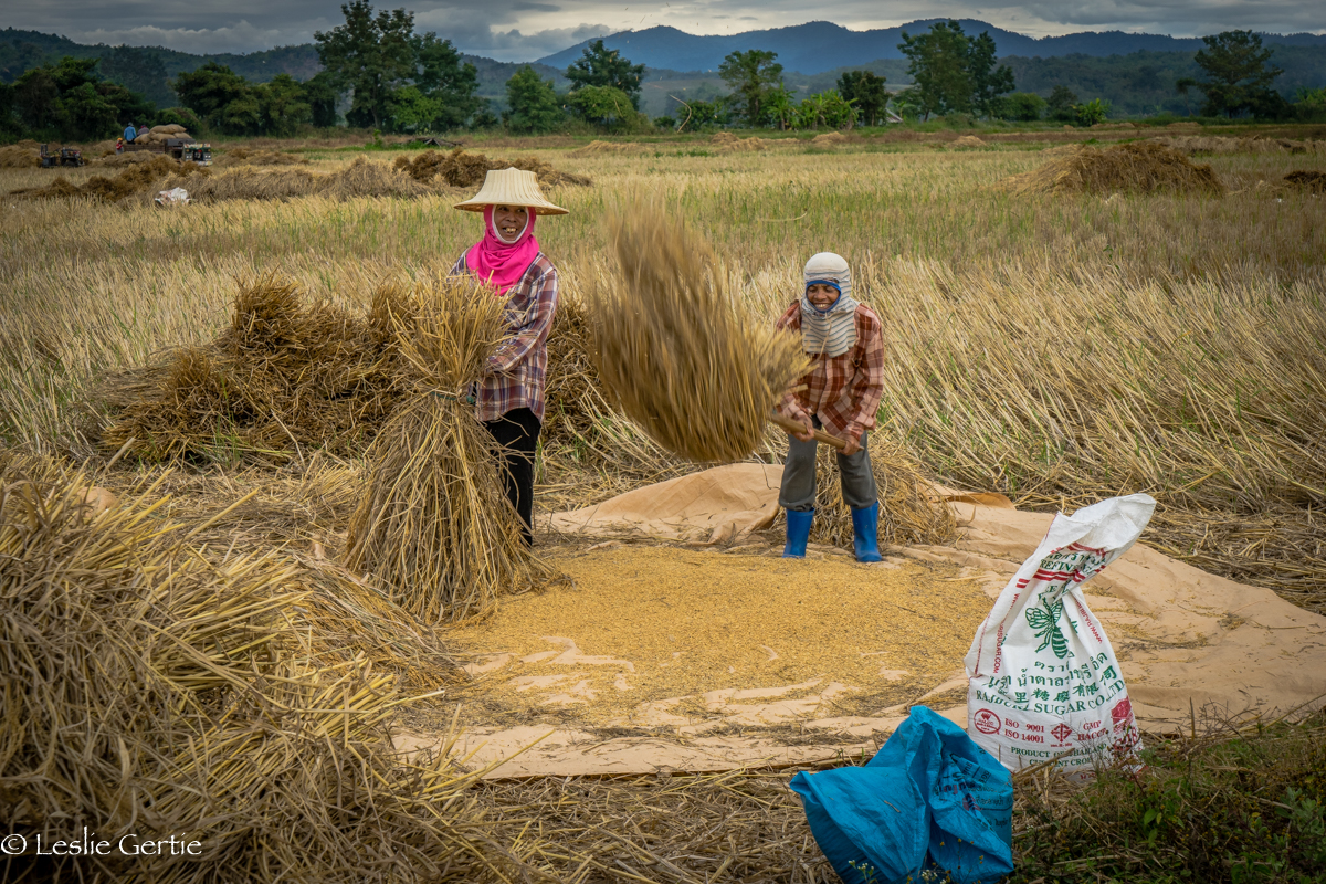 Threshing Rice, Chiang Rai, Thailand-1247