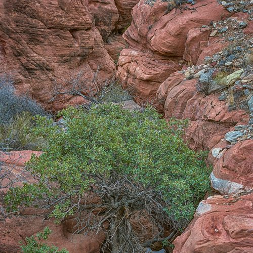 Tree in Red Rock Pocket-185-49