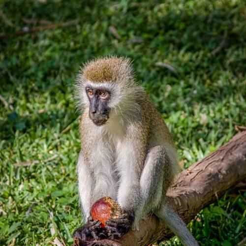 Verovet Monkey-Samburu-117