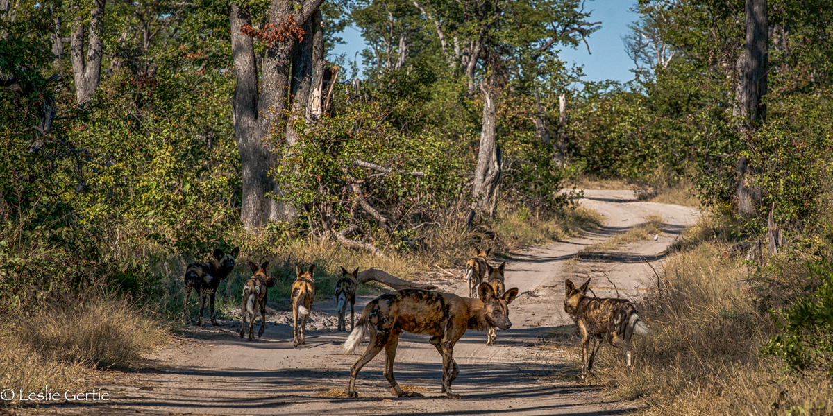 Wild Dogs-8697