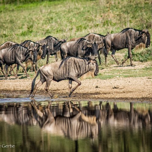 Wildebeest Crossing-Ndutu-1646