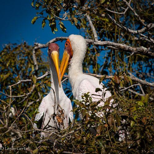 Mating Pair Yellowbilled Storks-7888