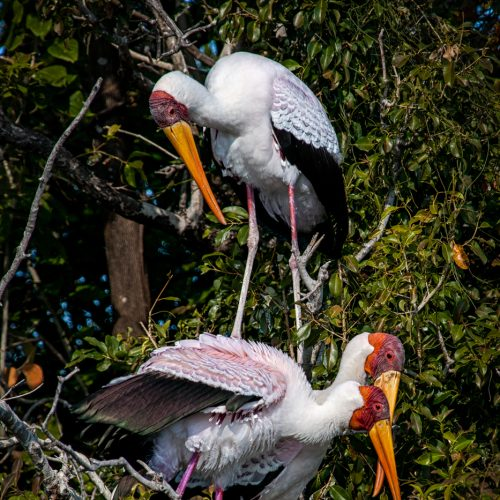 Yellowbilled Storks-7900