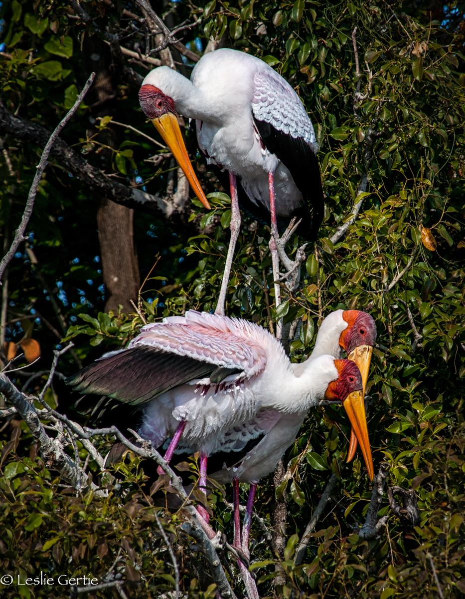 Yellowbilled Storks-7900