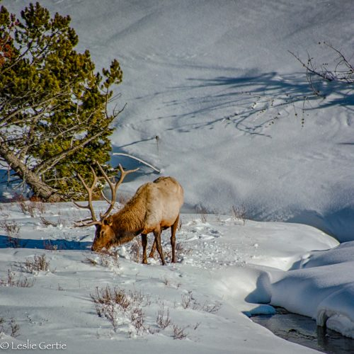 Yellowstone Winter-3