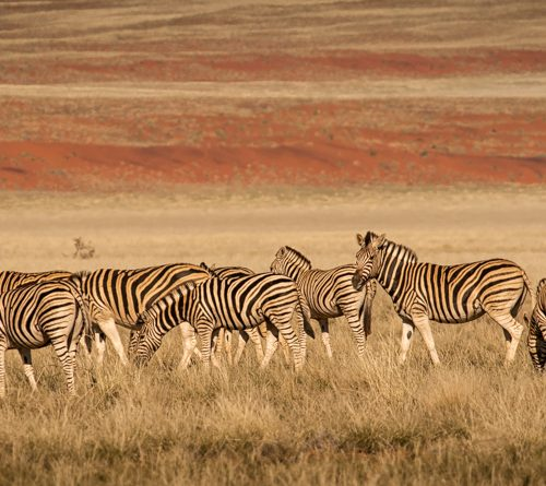 Zebras & Red Dune-6530