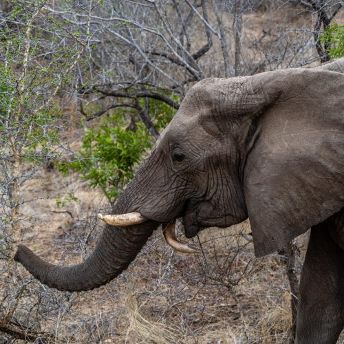 Elephant with bent Tusk-3569