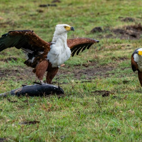 Fish Eagles-4267