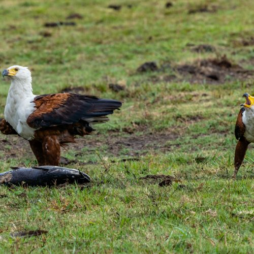 Fish Eagles-4271