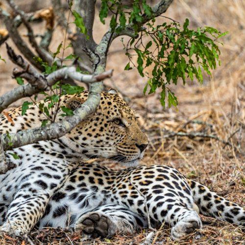Leopard-3420