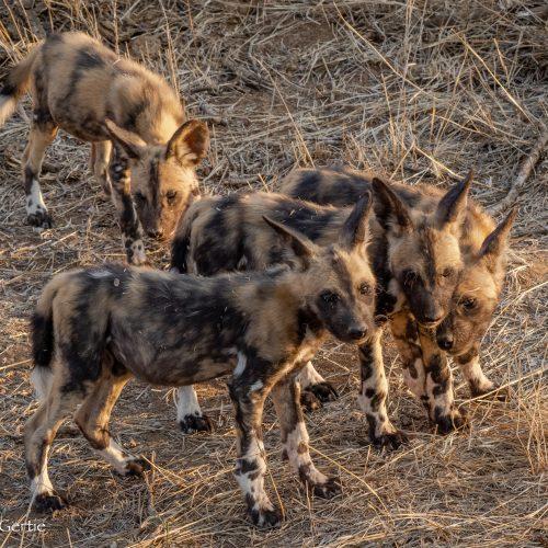 Wild Dogs-3296
