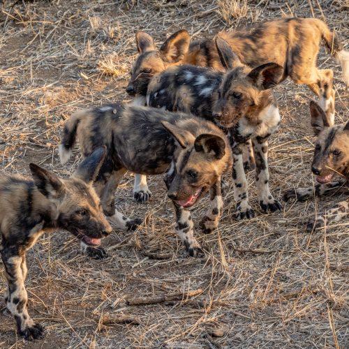 Wild Dogs-3336