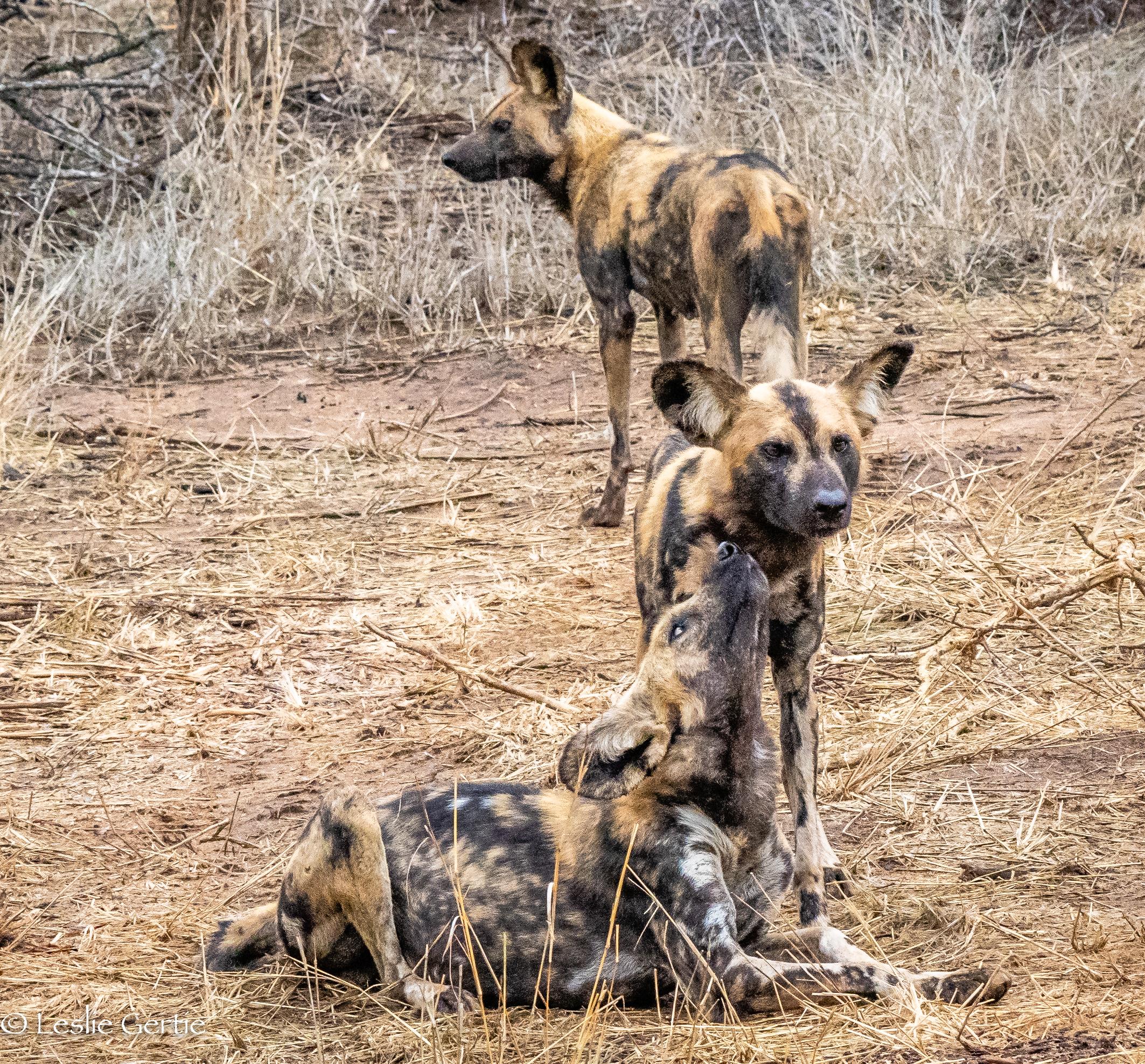 Wild Dogs-3743